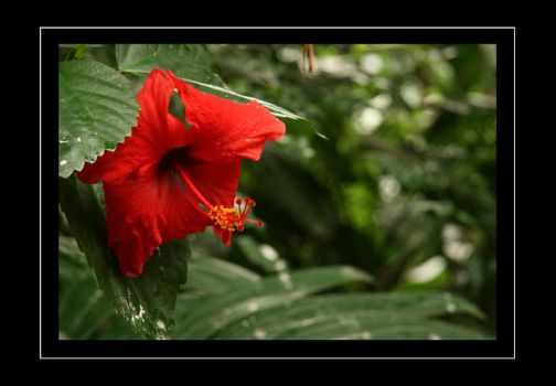 Red Hibiscus by sayres