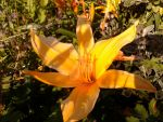 Lilly yellow