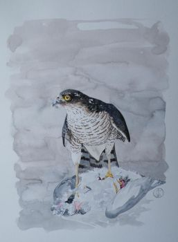 Sparrowhawk by SuseDolAmroth