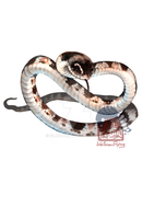 Taiwan Snake: White plum blossom snake by Silce-Wolf