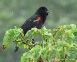 Singing in the Rain by eaglesdarephoto