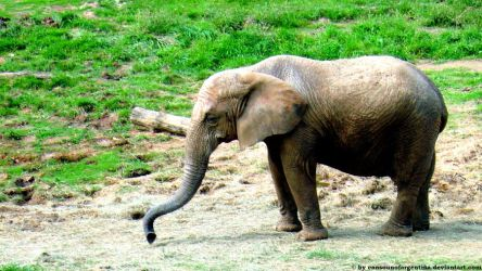 African Elephant IV by Cansounofargentina