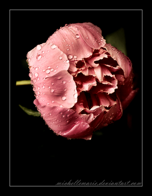 Peony by MichelleMarie