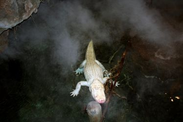 Claude, the Albino Alligator by unessential