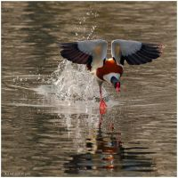Shell Duck by andy-j-s