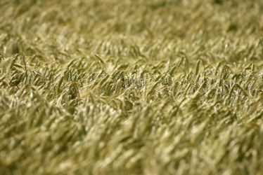 Wheat 2 by puffy69
