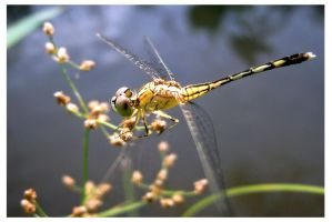 Yellow dragonfly (Ground Skimmer) by kiew1