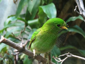 Female Lesser Green Broadbill LPZ 2 by loverofmythology