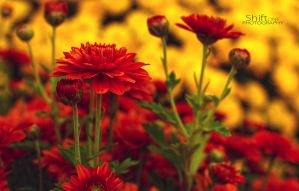 Mums by ShiftonePhotography