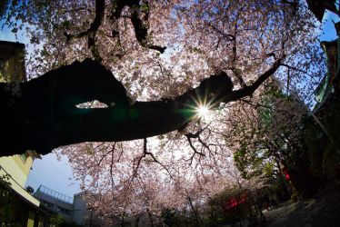 Cherry Blossoms by MetaAnomie