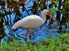 Indian Riverside Ibis by Matthew-Beziat