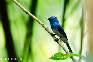 Black-naped Monarch Flycatcher(male) by DebasishPhotos