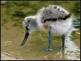 Avocet Chick by cycoze