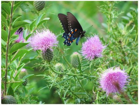 Butterfly and Swamp Thistles by Crystal-Marine