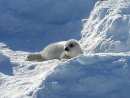Harp Seal Pup by Splikk