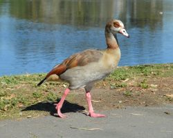 Egyptian Goose by Brooklyn47
