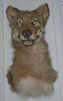 Coydog Shoulder Mount WIP by Tricksters-Taxidermy