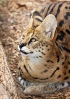 Bright Eyed Serval by Jack-13
