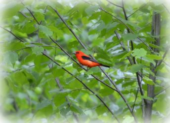 Scarlet Tanager by wagn18