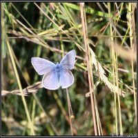 Common Blue by Clu-art