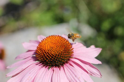 Honey Bee Pollinating Echinacea Flower 2 by cognisant