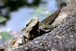 Eastern Water Dragon 03 by ShannonIWalters
