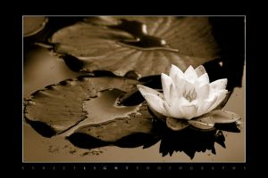 Water Lilly by UrbanRural-Photo