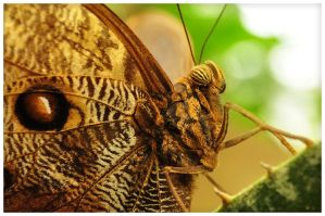 Owl Butterfly 2 by RomRom53