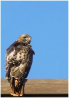 Small Redtail by SuicideBySafetyPin