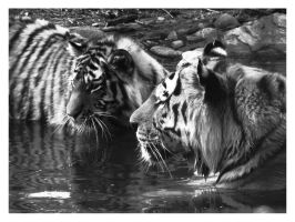 2 Tigers in BW by miezbiez