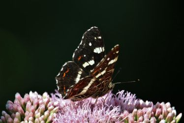 Daily butterly 11 by Dieffi