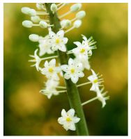 White blossom by Nataly1st