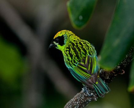 Green and Gold Tanager by DRB83