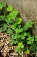 Day 103: Clovers by coolwanglu