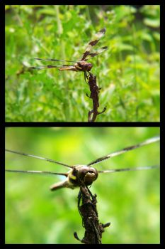 Dragonfly by mcstuff