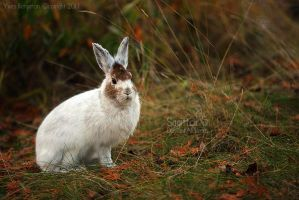Snowshoe Hare by Sagittor