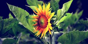 Sunflower by cazt1811