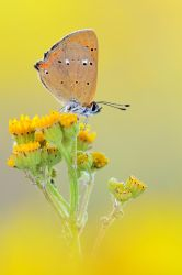 Scarce Copper by MartinAmm