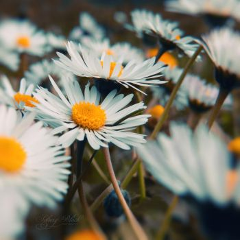 Daisies by SolveigBlack
