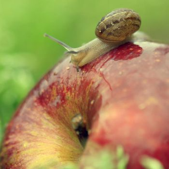 The very hungry snail. by incredi
