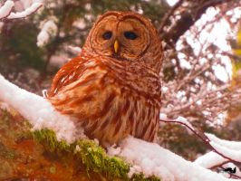 Owl Enjoying A Snow Day by wolfwings1