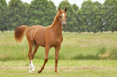 Arabian Horse - 5 by Pebels