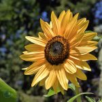 Sunflower II by Artie3D