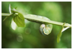 My little Caterpillar   Tomato Moth by OMG-ImSoAwesome
