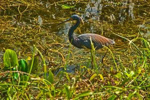 Little Blue Heron by quintmckown