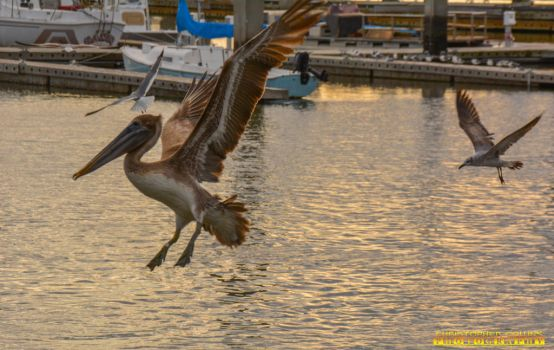 Pelican and Seagull coming in for a landing port 2 by ENT2PRI9SE