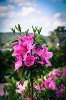 Higashi Village Azalea Festival - Flowers 4 by Natures-Studio