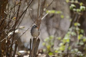 White Crowned Sparrow 2 by themanitou