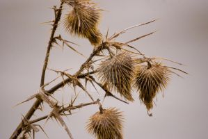 Cold Thistles II by carbyville