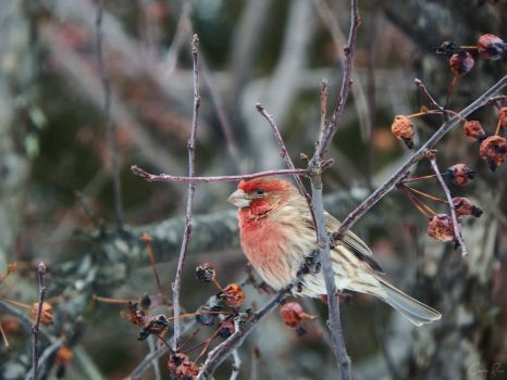 House Finch. by Sparkle-Photography